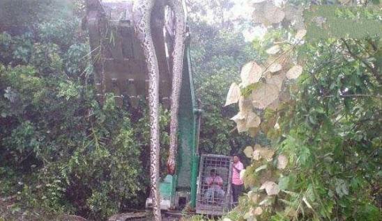 挖蛇事件,发生在广西桂平,140岁金色蛇长16米头有蛇冠