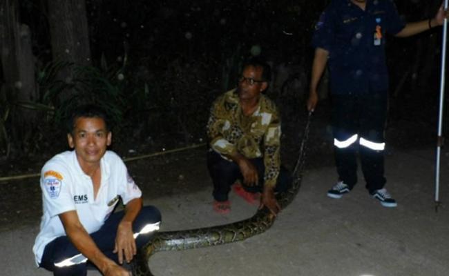 泰国3.5米长大蟒蛇路中熟睡 造成交通大混乱