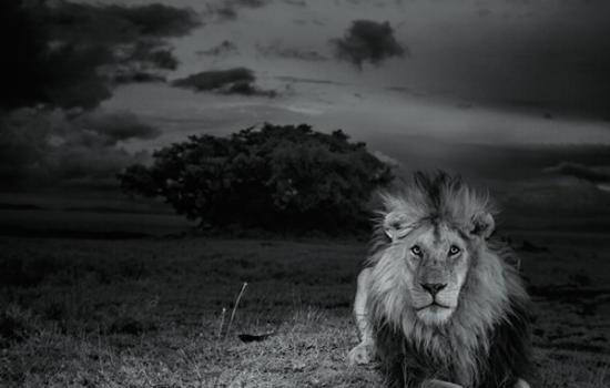非洲塞伦盖蒂平原上狮子的生与死