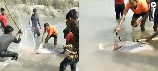 """棍打斧劈!印度北方邦普拉塔普加尔城村民残忍虐杀濒危""""恒河豚""""画面曝光"""