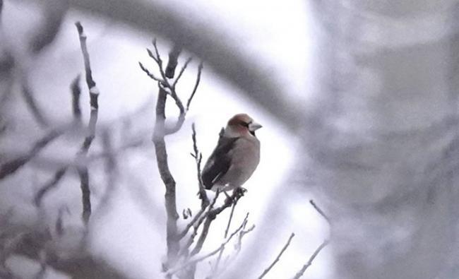 在日本常见的锡嘴雀首次在加拿大育空地区出现