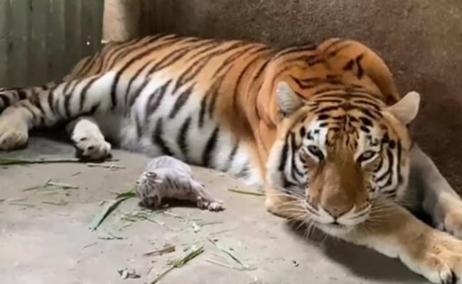 """尼加拉瓜动物园诞生孟加拉白虎""""白雪"""""""