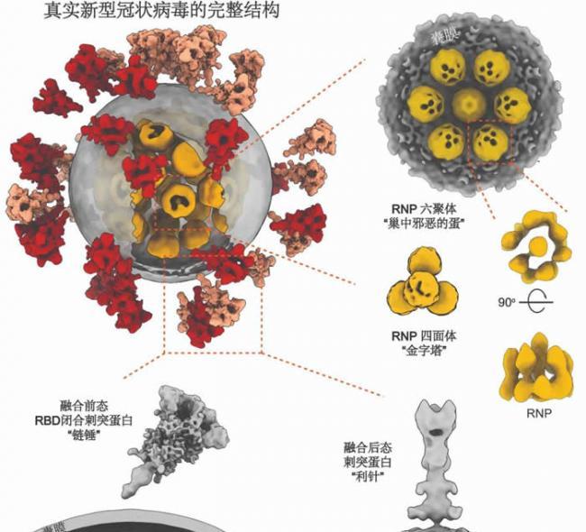 灭活新冠病毒全病毒三维精细结构(李赛实验室供图)