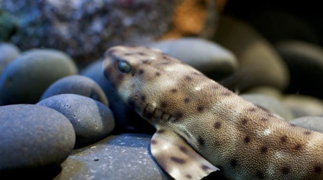 研究发现,随着海温升高,鲨鱼卵鞘会提早孵化且鲨鱼变得较虚弱。照片来源:City.and.Color(CC BY 2.0)