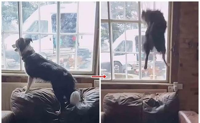 英国埃塞克斯郡一只边境牧羊犬为吸引主人注意 在沙发不断疯狂弹跳