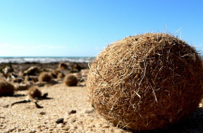 研究发现西班牙沿海地区的海草似乎会抓住塑胶污染 形成天然纤维球