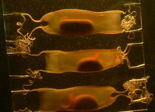 猫鲨科的卵鞘和尚未孵化的鲨鱼。照片来源:Armin Wolfermann(CC BY-NC-ND 2.0)