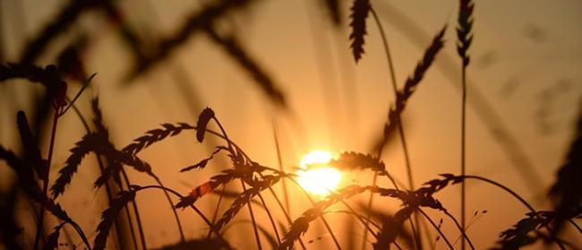 俄罗斯科学家培育出花色素苷含量高的小麦 食用可改善阿尔茨海默氏症和帕金森病状况
