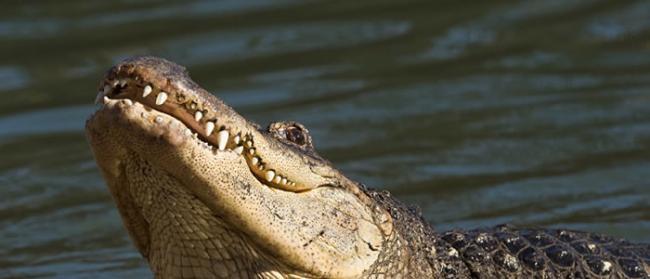 澳大利亚男子游泳时遭到鳄鱼袭击 他成功用手将鳄鱼嘴分开并将头拔出