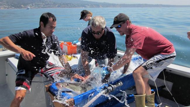 新研究表明气候变化可能正在迫使美国加州的年轻大白鲨向北迁移