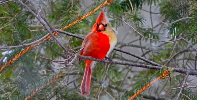 """美国宾州退休鸟类学家Jamie Hill发现罕见""""雌雄同体""""北美红雀"""