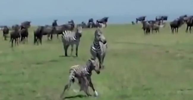 美国游客在肯尼亚捕捉到刚出生斑马被狮子捕食画面