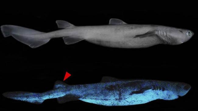 新西兰附近太平洋海域首次拍摄到三种会发光的鲨鱼:铠鲨、灯笼乌鲨和南方乌鲨