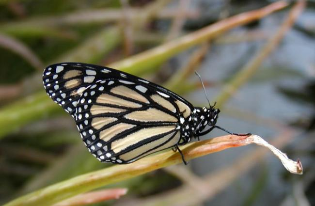 民间科学数据研究显示气候暖化导致美国西部蝴蝶数量衰减