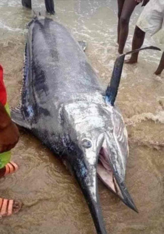 尼日利亚男子捕获3公尺大鱼兴奋宴请全村 吃完才知道是价值百万美元的大西洋蓝枪鱼