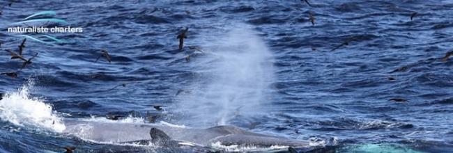 澳洲西海岸16公尺长蓝鲸误闯虎鲸领地 被70头虎鲸围杀