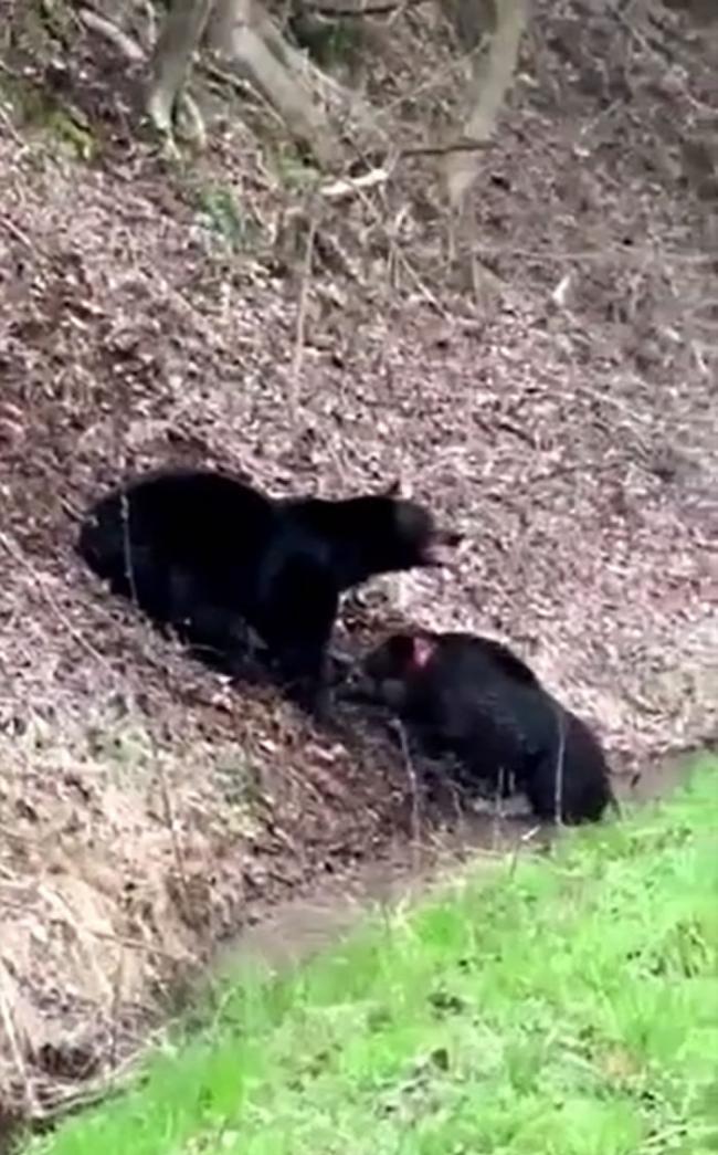 美国田纳西州男子意外目睹黑熊大战野猪的残酷画面