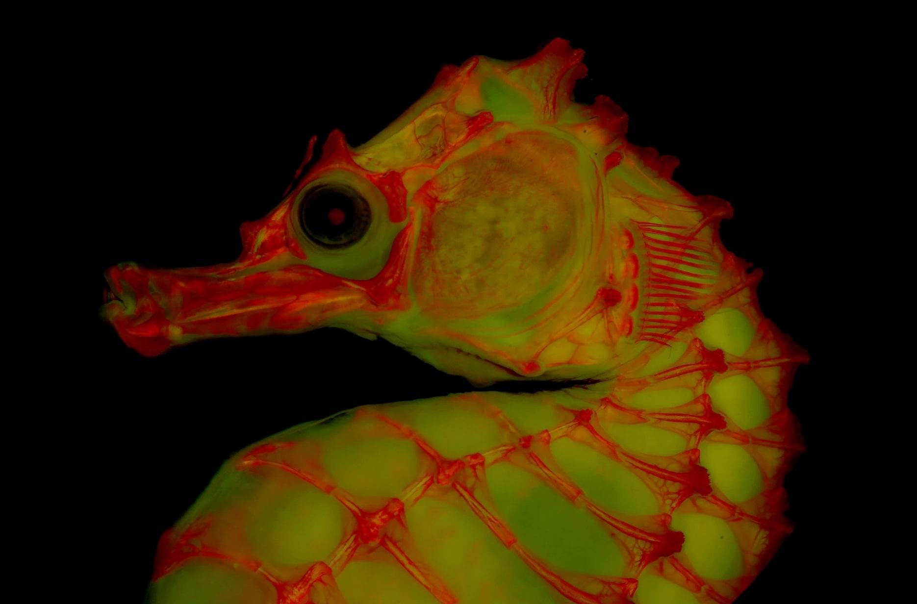 使用萤光、红色染料以及明胶的新兴摄影技术大幅提升科学家将动物骨骼视觉化的程度