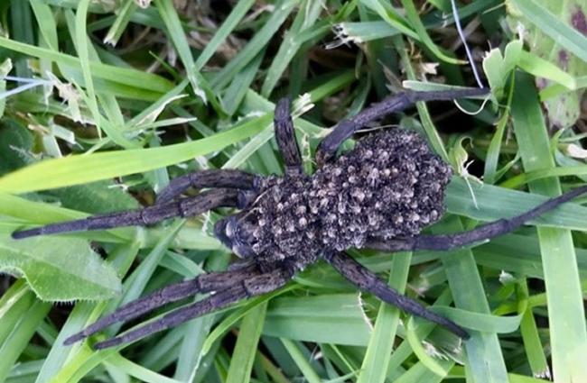 澳洲新南威尔斯州女子发现一只狼蛛背着数百只宝宝 再次回来查看时小蜘蛛们却全部消失