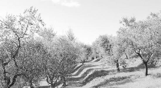 意大利橄榄树正沦为一种毁灭性病原体的牺牲品