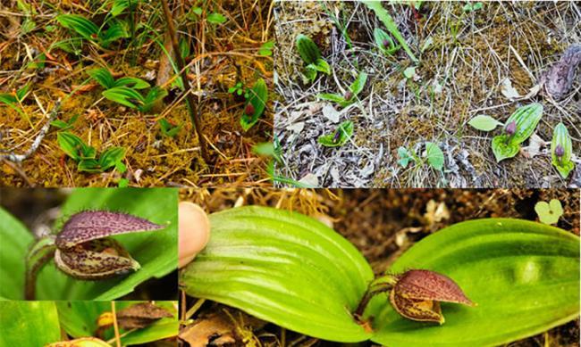 玉龙雪山再发现玉龙杓兰(Cypripedium forrestii)野生居群