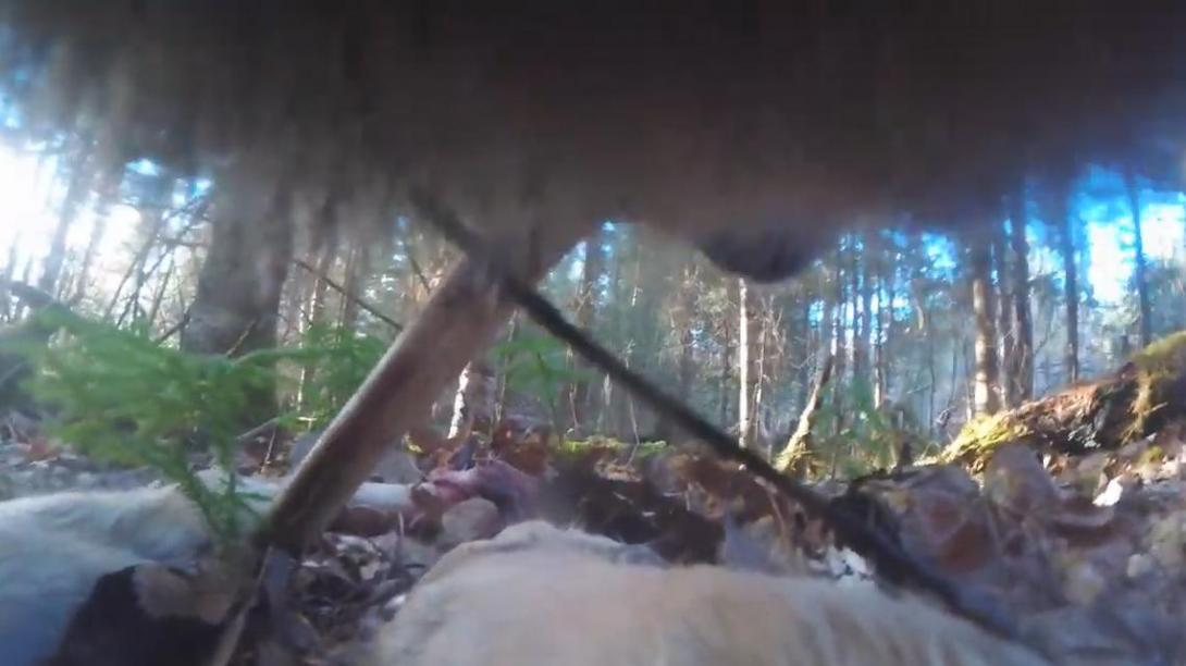 美国明尼苏达大学Voyageurs狼项目研究人员拍摄到野狼捕食淡水鱼的画面