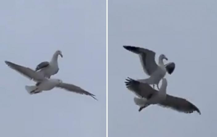 """推特用户buitengebieden_分享一段""""海鸥骑海鸥""""影片"""