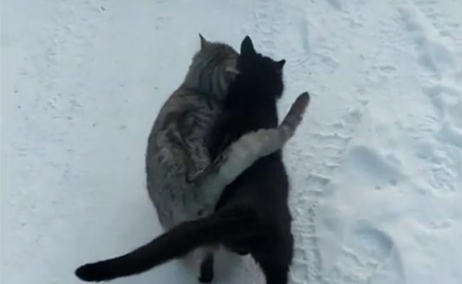 乌克兰雪地中一只黑猫和一只虎斑猫紧紧依偎走路 连尾巴都交叉