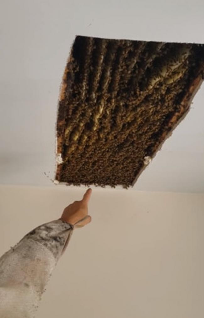 美国乔治亚州女子在家中发现藏有10万多只蜜蜂的超大蜂巢 4年前才移走12万只