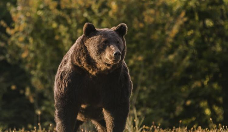 """被控射杀欧洲最大棕熊 列支敦士登王子澄清""""误射""""被反呛"""