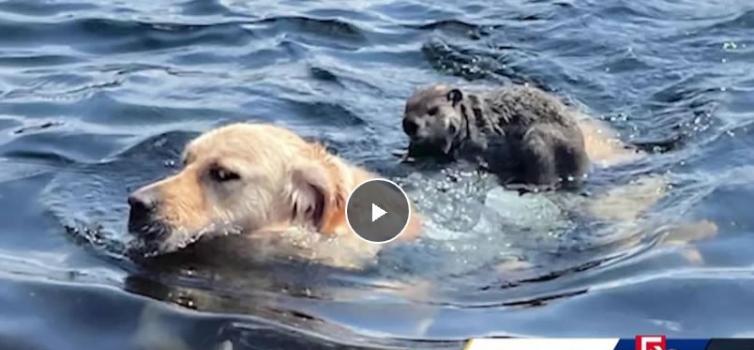 美国麻萨诸塞州黄金猎犬在希克里山湖游泳时一只土拨鼠骑上背部搭便车