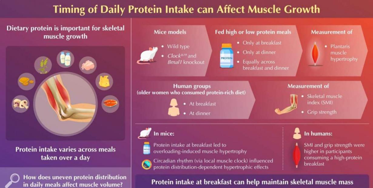 研究发现早上摄入更多蛋白质以及晚上摄入更少蛋白质可能是肌肉生长的最佳选择