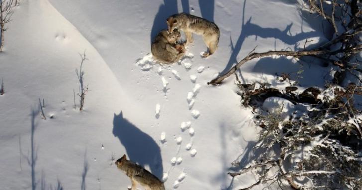 研究发现关于罗亚尔岛国家公园的狼和驼鹿的新见解